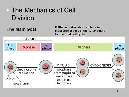 The Mechanics of Cell Division