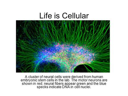 Life is Cellular A cluster of neural cells were derived from human embryonic stem cells in the lab. The motor neurons are shown in red; neural fibers appear.