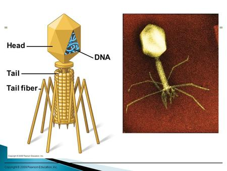 Copyright © 2009 Pearson Education, Inc. Head Tail fiber DNA Tail.