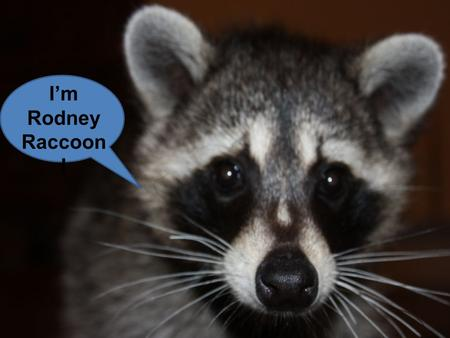 I'm Rodney Raccoon !. While its diet in spring and early summer consists mostly of insects, worms, and other animals already available early.