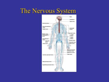 The Nervous System. Brain Teaser 815 14 9 1 6 3 Which number comes next in the sequence? 4,7,10 or 12 ? 12 alphabetical order.