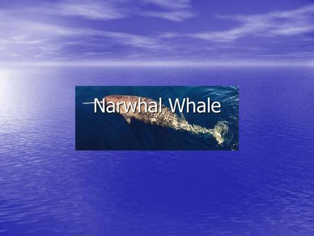 Narwhal Whale. Diet Diet Narwhal whales eat octopus, squid, crabs, flounder, snails, sandworms and other bottom dwelling creatures. Narwhal whales eat.