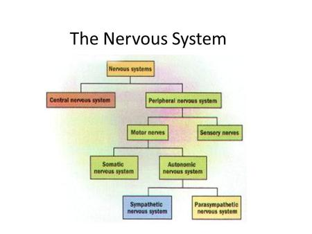 The Nervous System. 4 Functions of the Nervous System Gathers information both from the outside world and from inside the body. Transmits the information.