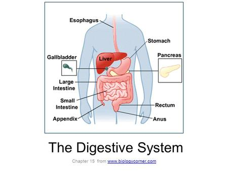 The Digestive System Chapter 15 from www.biologycorner.comwww.biologycorner.com.