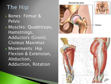  Bones: Femur & Pelvis  Muscles: Quadriceps, Hamstrings, Adductors (Groin), Gluteus Maximus  Movements: Hip Flexion & Extension, Abduction, Adduction,