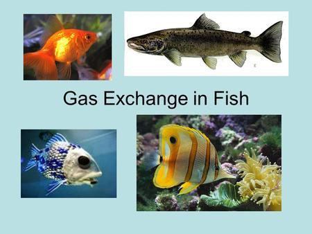 Gas Exchange in Fish.