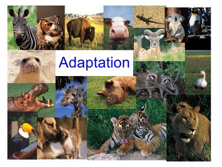 Adaptation. Adaptation is the ability of a plant or animal to change in order to survive in their environment.