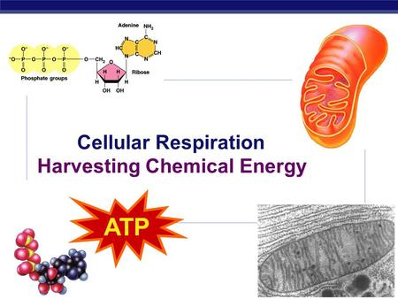 AP Biology 2009- 2010 Cellular Respiration Harvesting Chemical Energy ATP.