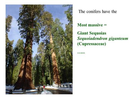 Most massive = Giant Sequoias Sequoiadendron giganteum (Cupressaceae) …... The conifers have the.