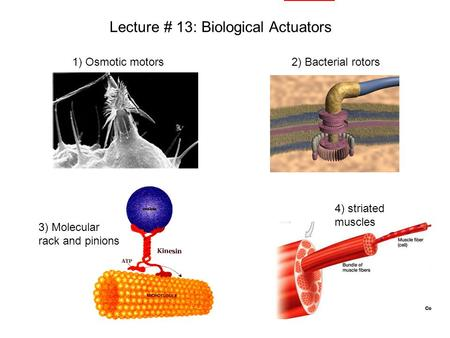 Lecture # 13: Biological Actuators 1) Osmotic motors2) Bacterial rotors 3) Molecular rack and pinions 4) striated muscles.