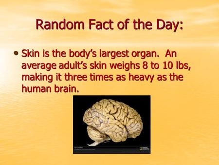 Random Fact of the Day: Skin is the body's largest organ. An average adult's skin weighs 8 to 10 lbs, making it three times as heavy as the human brain.