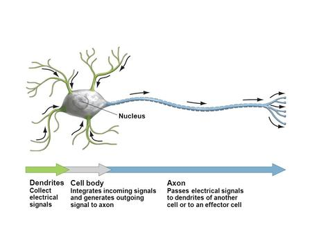 Nucleus Dendrites Collect electrical signals Cell body Integrates incoming signals and generates outgoing signal to axon Axon Passes electrical signals.