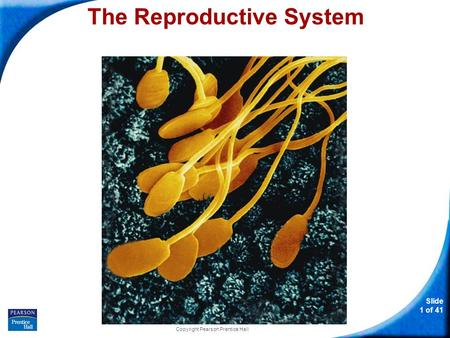 Slide 1 of 41 Copyright Pearson Prentice Hall The Reproductive System.