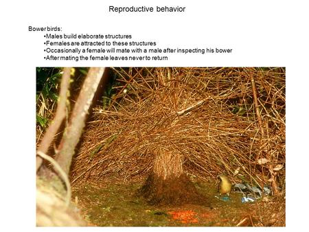 Reproductive behavior Bower birds: Males build elaborate structures Females are attracted to these structures Occasionally a female will mate with a male.
