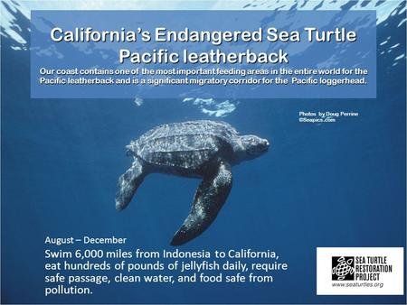 California's Endangered Sea Turtle Pacific leatherback Our coast contains one of the most important feeding areas in the entire world for the Pacific leatherback.