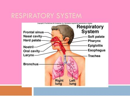 RESPIRATORY SYSTEM. Functions  Gas exchange  Filters air  Warms air  Humidifies air  Speech/sound  Olfaction.
