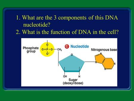 1. What are the 3 components of this DNA nucleotide? 2. What is the function of DNA in the cell?