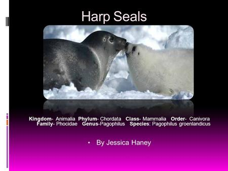 Harp Seals Kingdom- Animalia Phylum- Chordata Class- Mammalia Order- Canivora Family- Phocidae Genus-Pagophilus Species: Pagophilus groenlandicus By Jessica.