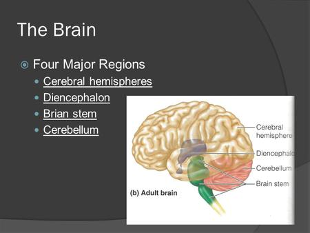 The Brain Four Major Regions Cerebral hemispheres Diencephalon