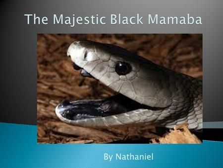By Nathaniel. TThe black mamba fits into the reptile and amphibians. TThe black mamba scientific name is dendroaspis polylepsis TThe life span of.