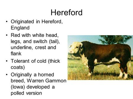 Hereford Originated in Hereford, England Red with white head, legs, and switch (tail), underline, crest and flank Tolerant of cold (thick coats) Originally.