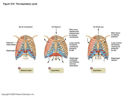 Copyright © 2009 Pearson Education, Inc. Figure 10.9 The respiratory cycle.
