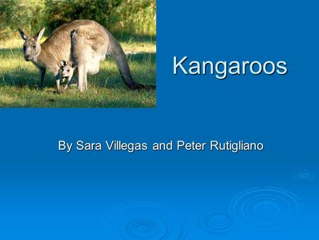 Kangaroos By Sara Villegas and Peter Rutigliano. Kangaroos  People hunt kangaroos for there skin and hides.  Kangaroo's are destroying the grassland.
