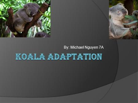 By: Michael Nguyen 7A. What group are koalas in?  Kingdom: Animalia  Phylum: Chordata  Class: Mammalia  Order: Diprotodontia  Family: Phascolarctidae.