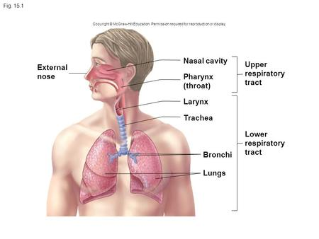 Fig. 15.1 Copyright © McGraw-Hill Education. Permission required for reproduction or display. Nasal cavity Larynx Bronchi Lungs Upper respiratory tract.