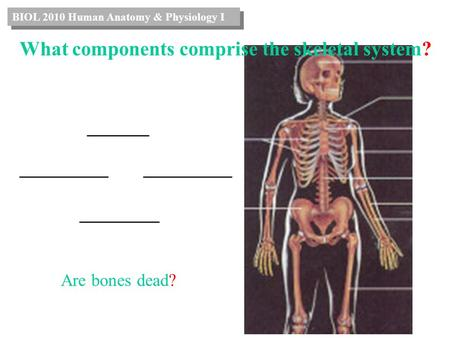 _______ __________ _________ Are bones dead? BIOL 2010 Human Anatomy & Physiology I What components comprise the skeletal system?