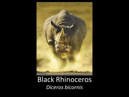 Black Rhinoceros Diceros bicornis. Environment: Prefer densely wooded area's, also live in savannah and open planes Hobbies: Hanging out with their Crash(group.