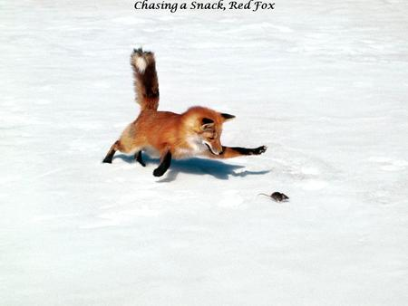 Chasing a Snack, Red Fox. Adelie Penguins in Hope Bay, Antarctica.