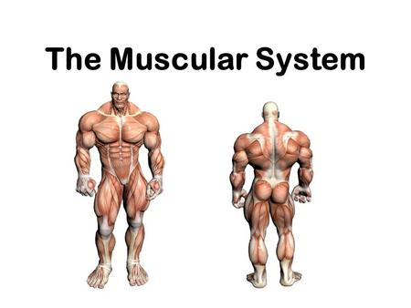The Muscular System. or Everything you ever wanted to know about Muscles, but were afraid to ask !!!