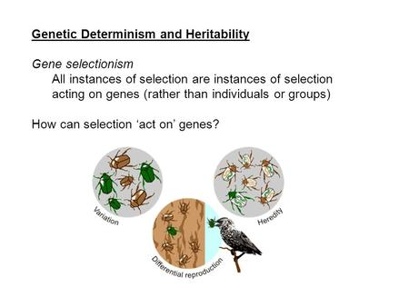 Genetic Determinism and Heritability Gene selectionism All instances of selection are instances of selection acting on genes (rather than individuals or.