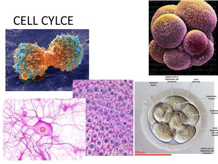 CELL CYLCE. Cell Division—Mitosis Notes Cell Division —division into 2 new cells Note: Cells cannot get enough nutrients in cell and wastes out of the.
