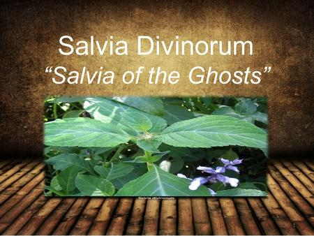 "Salvia Divinorum ""Salvia of the Ghosts"" 1. Also Known As Sally D Diviner's sage Magic mint Simply Salvia 2."