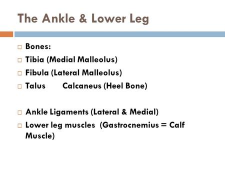 The Ankle & Lower Leg  Bones:  Tibia (Medial Malleolus)  Fibula (Lateral Malleolus)  TalusCalcaneus (Heel Bone)  Ankle Ligaments (Lateral & Medial)