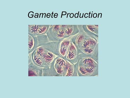 "Gamete Production. 1 ST MEIOTIC INTERPHASE DNA Replicates (""S"" stage) Centrosomes Nucleus DNA Chromatin forms."