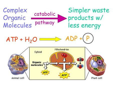 Complex Organic Molecules Simpler waste products w/ less energy catabolic pathway ATP + H 2 O ADP + P.