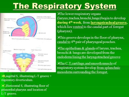 The Respiratory System The Respiratory System  The lower respiratory organs (larynx,trachea,bronchi,lungs) begin to develop during 4 th week, from laryngotracheal.