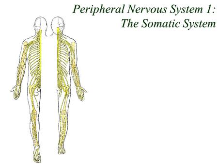 Peripheral Nervous System 1: The Somatic System. Dichotomies 1. Tissues: neurons vs. glia 2. Position: CNS vs. PNS 3. Function 1: sensory vs. motor 4.