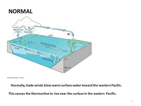 1 NORMAL Normally, trade winds blow warm surface water toward the western Pacific. This causes the thermocline to rise near the surface in the eastern.