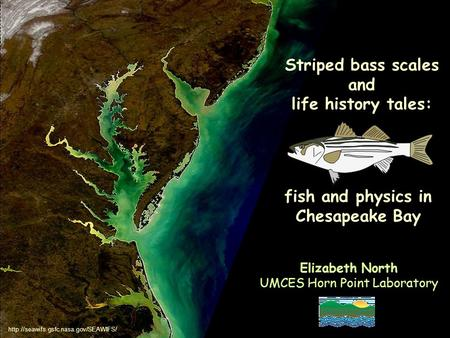 Striped bass scales and life history tales: Elizabeth North UMCES Horn Point Laboratory fish and physics in Chesapeake Bay