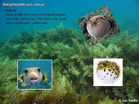 Habitat Most puffer fish live in the tropical waters and fresh waters too. They live in the coral reef and the salty waters too.
