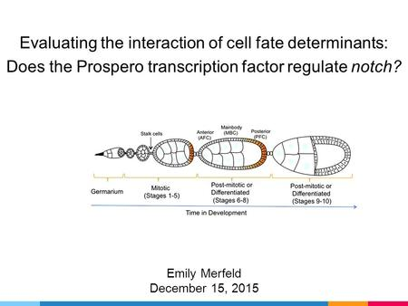 Evaluating the interaction of cell fate determinants: Does the Prospero transcription factor regulate notch? Emily Merfeld December 15, 2015.