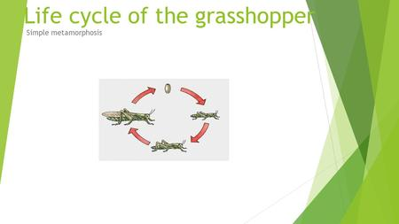 Life cycle of the grasshopper Simple metamorphosis.