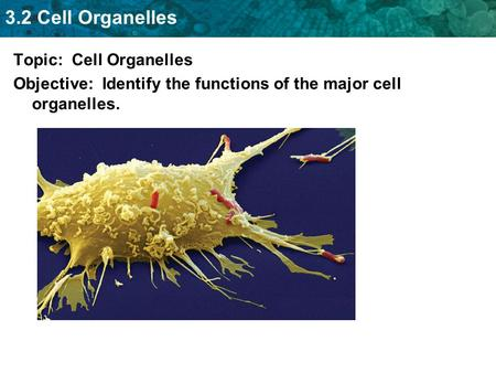 3.2 Cell Organelles Topic: Cell Organelles Objective: Identify the functions of the major cell organelles.