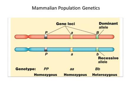 Mammalian Population Genetics. Allele Frequencies The total number of copies of an allele divided by (for mammals) 2N. Aa AA aa Aa AA aa Aa AA aa AA p.