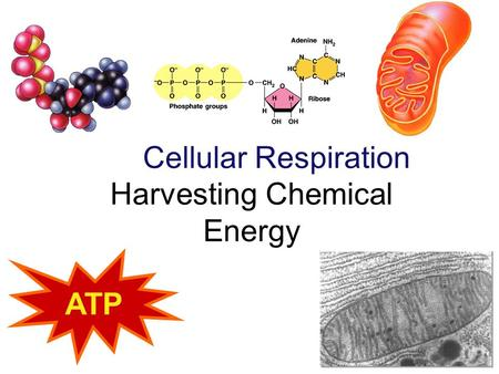 Cellular Respiration Harvesting Chemical Energy ATP.
