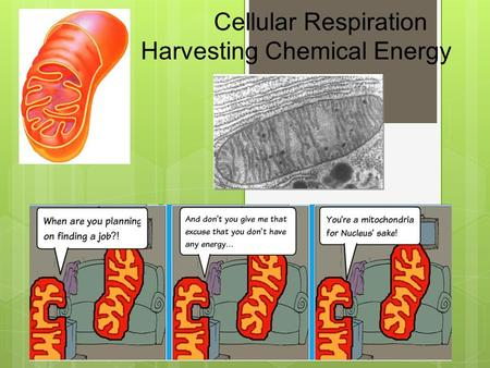 Cellular Respiration Harvesting Chemical Energy Important parts.